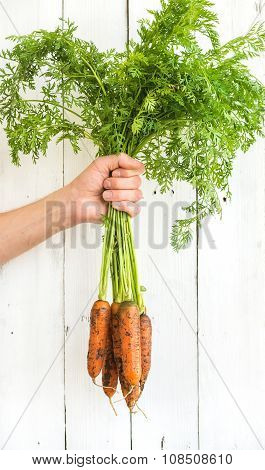 Bunch of fresh garden carrots with green leaves in the hand, white wooden backdrop