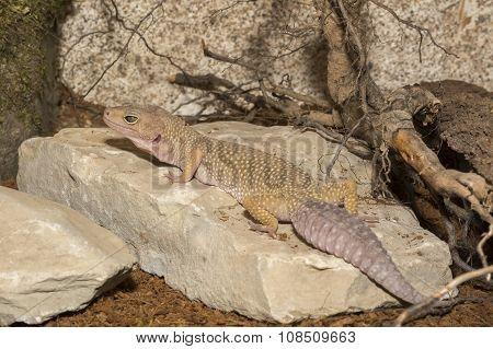 Gecko In The Terrarium
