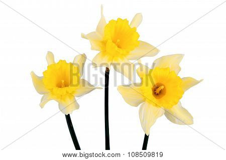 Three Yellow Daffodils On A White Background