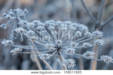 Herb Family Umbellate Covered Rime