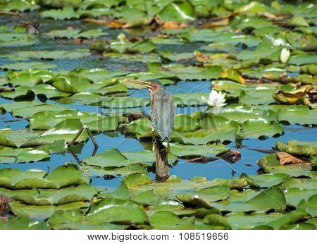 Kingfisher in a swamp with waterlily