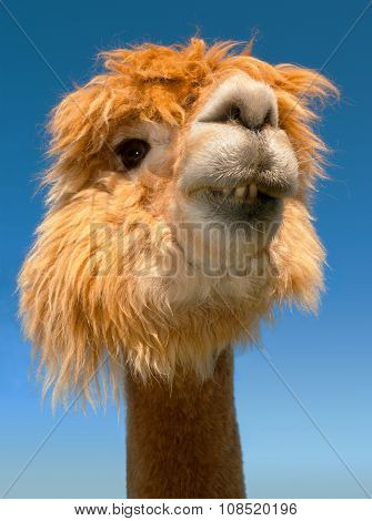 funny lama alpaca teeth portrait