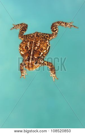 toad swimming in a pool