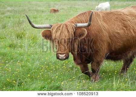 brown horned cow long horns grass