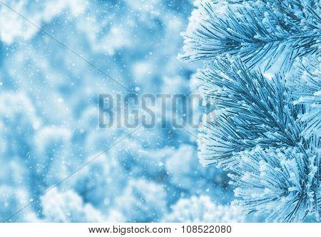 Pine in hoarfrost