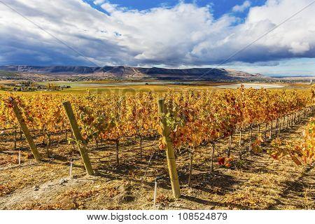 Orange Leaves Vines Rows Grapes Fall Vineyards Red Mountain Benton City Washington