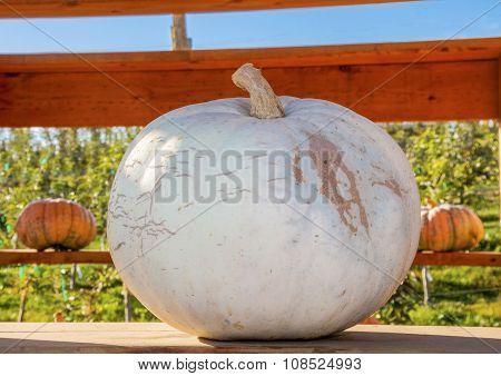 White Pumpkin Squash Garden