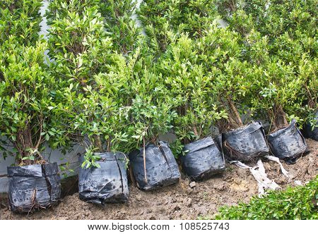 Small Banyan Trees In Plastic Bags.