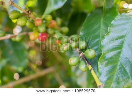 Coffee beans ripening on tree in Luye, Taitung, Taiwan, Asia.