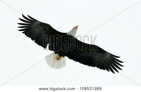 American Bald Eagle (haliaeetus Leucocephalus) In Flight