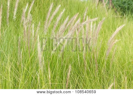 Imperata Cylindrica Beauv Of Feather Grass In Nature