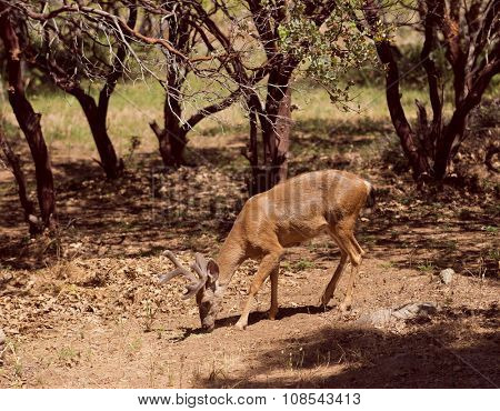 Black-tailed deer stalking through the woods into a garden in the Sierra Nevada's