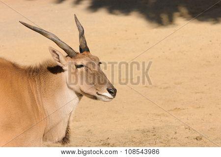 An Eland (Taurotragus Oryx or Derbianus), an african large antelope