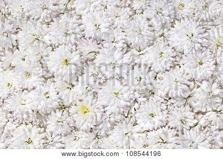 Background of white chrysanthemum