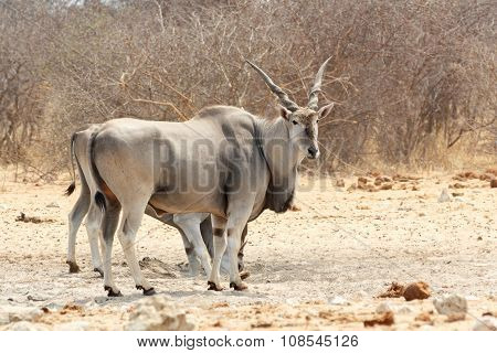 Eland Near Waterhole