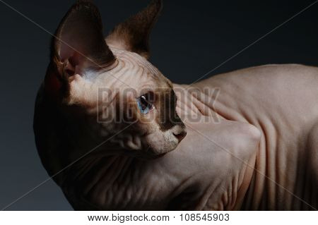 Sphynx Cat Sits And Looking Back On Black
