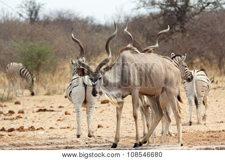 Kudu Drinking From Waterhole