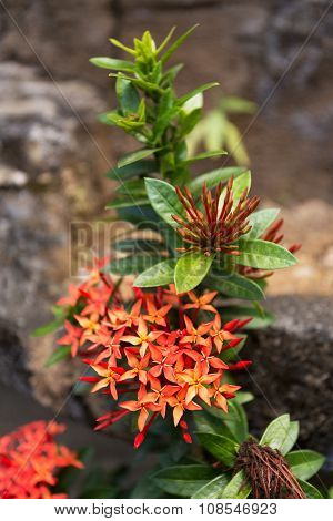 Wild Ixora Flower In Bali