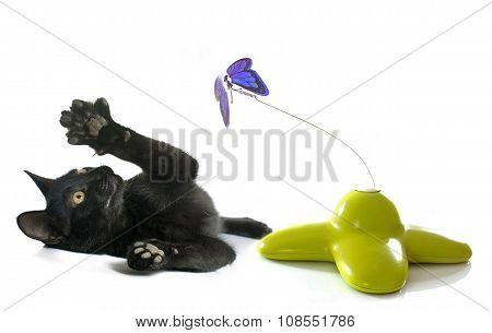 Playing Black Kitten