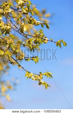 Elm Tree Twigs