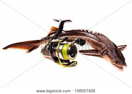 Fresh Sterlet Fish With Fishing Reel Isolated On White. Sterlet Is A Small Sturgeon.