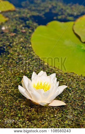 White Lily Floating On Water And Duckweed As Background