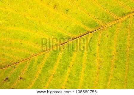Autumn Walnut Tree Leaf Isolated On White Background