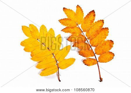 Autumn Rowan Tree Leaves Isolated On White. With Clipping Path.