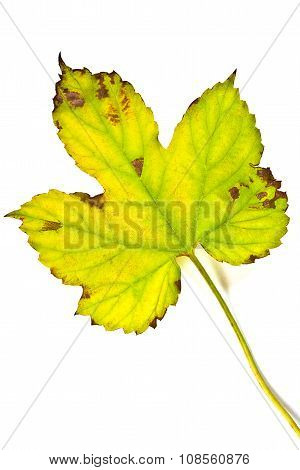 Autumn Ivy Leaf Isolated On White Background