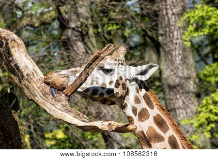 Rothschild's Giraffe Licking The Tree Branch, Animal Portrait