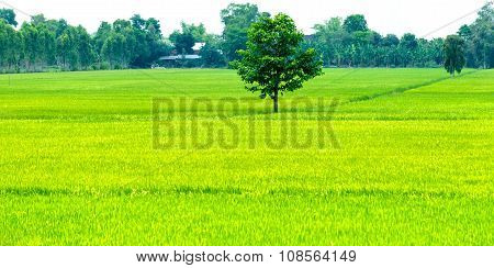 Lone tree in the rice fields