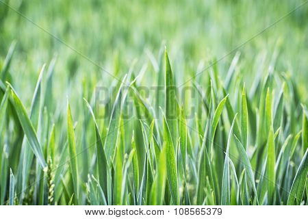 Green Corn Field In Spring, Seasonal Agricultural Theme