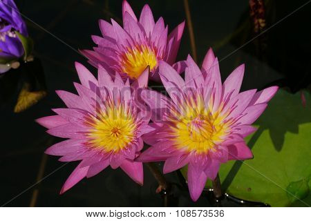 Pink lotus flowers, beautiful yellow stamens 3 bath Flower Green Water