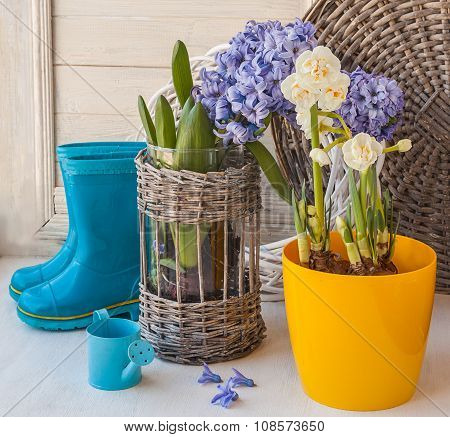 Hyacinths And Daffodils Bloom In The Window
