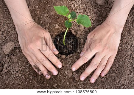 Hands Planting Cucumber Seedling, Closeup