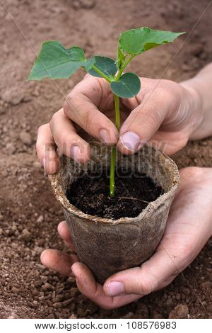 Hands With Cucumber Seedling