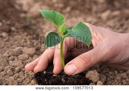 Planting Cucumber Seedling, Closeup