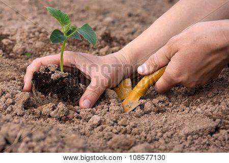 Planting Cucumber Seedling