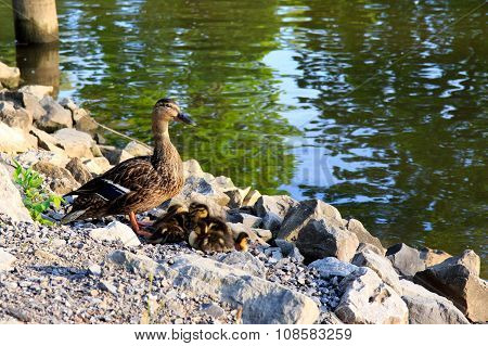 Duck family by the water