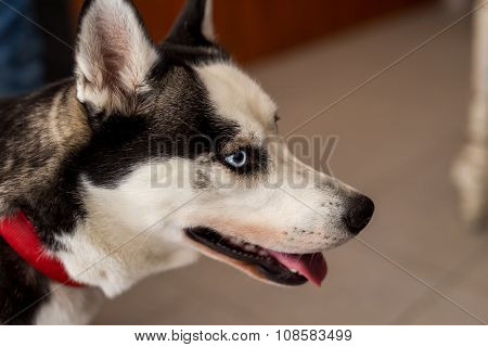 Beautiful Husky Dog, Closeup Shot