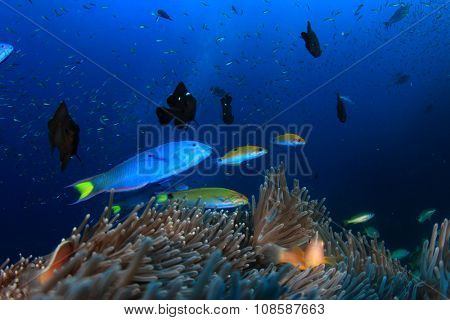 Anemone, clownfish, coral underwater in ocean