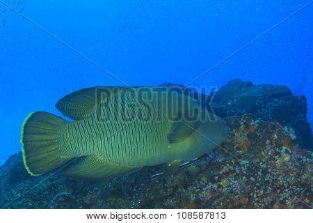 Napoleon Wrasse fish