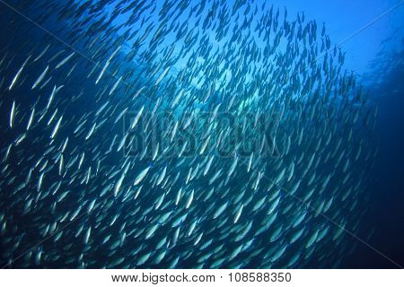 Sardines fish underwater in ocean