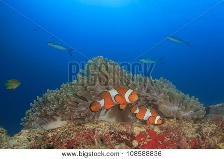 Clown Anemonefish (Clownfish Nemo fish Anemonefish)