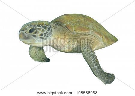 Green Sea Turtle isolated on white background