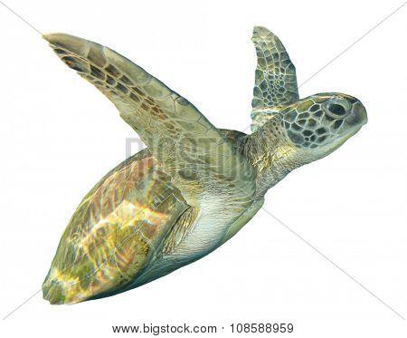 Sea Turtle white background