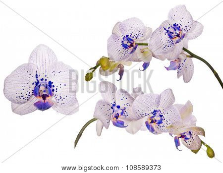 set of light orchid flowers isolated on white background