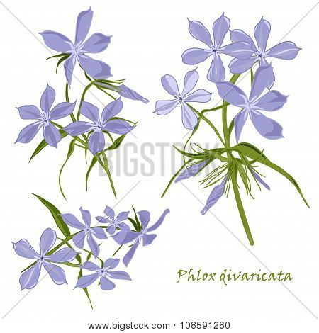 Set Of Flowers Phlox Divaricata With Leafs In Realistic Hand-drawn Style.