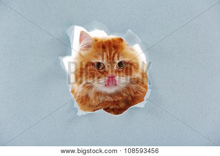 Red cat in paper side torn hole isolated on white