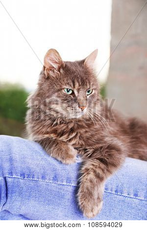 Grey lazy cat sitting on woman's knees near window